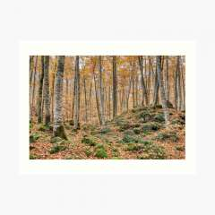 Autumn Between Trees (Fageda d'en Jordà, Catalonia) - Art Print